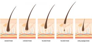 cycle de pousse du poil